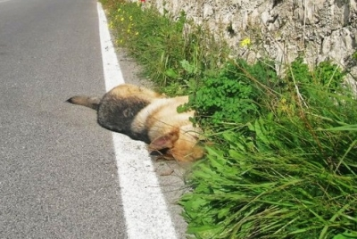 Cani avvelenati a Torre di Ruggiero, il sindaco si rivolge all'Istituto Zooprofilattico