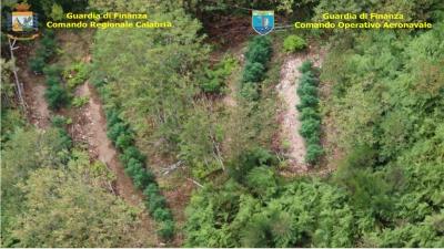 Sequestrate otto piantagioni di marijuana nella Locride e in provincia di Vibo - FOTO