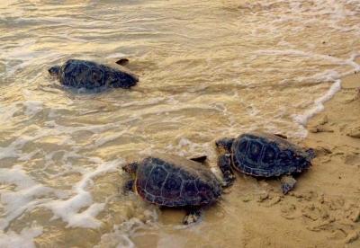 L'appello del Wwf per salvaguardare i nidi di tartaruga marina